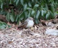 545-01-2012 Ash-throated Flycatcher 01:04:2012 Newville, Cumberland Co., Dale Gearhart #1a