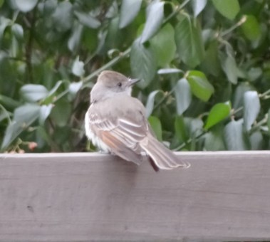 545-01-2012 Ash-throated Flycatcher 01:04:2012 Newville, Cumberland Co., Dale Gearhart #3a