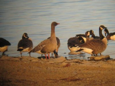 Pink_footed_Goose_11_17_12_Peace_Valley_Park