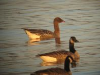 Pink_footed_Goose_11_17_12_Peace_Valley_Park_Aug. Mirabella