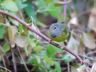 #258 MacGillivray's Warbler