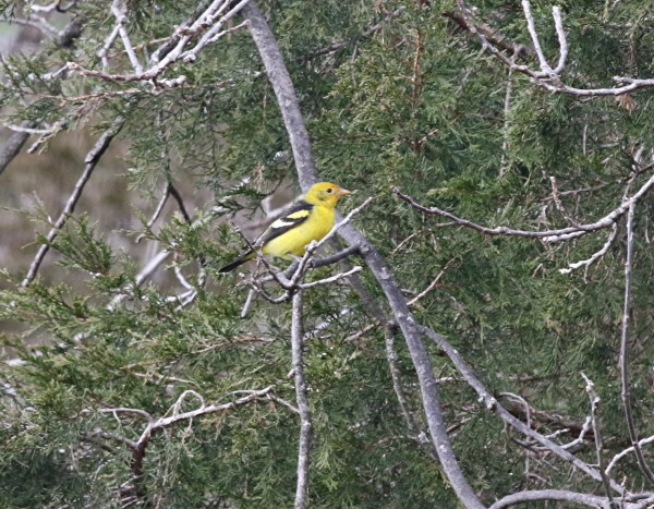 Western Tanager, State College, 11-29-2015, Mike Fialkovich (1)