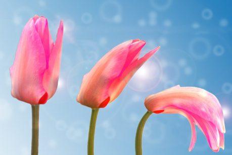 tulip-1320559_1280