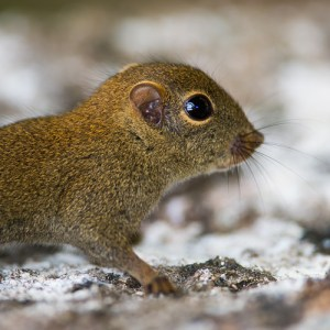 Least Pygmy Squirrel
