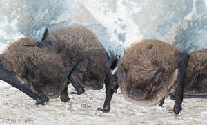 Long-tailed Serotine Bat