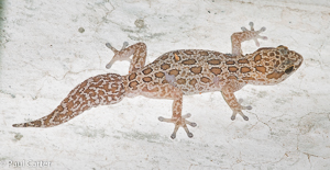Golden Spotted Gecko
