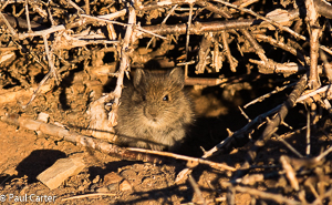 Karoo Bush Rat