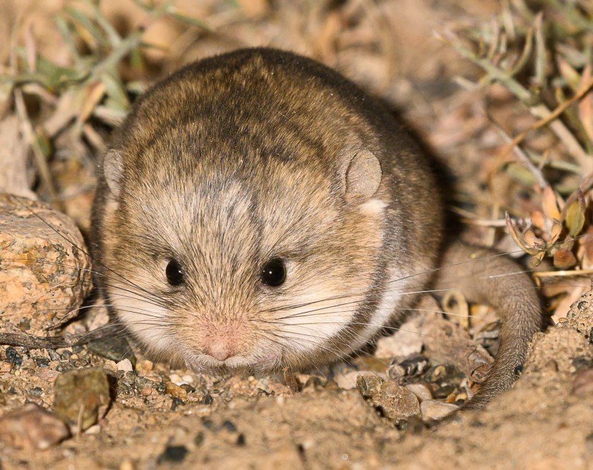Mammal-watching Trip across Central and Western Mongolia ... - photo#11