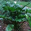Zantedeschia aethiopica 'White Giant', Jay Yourch