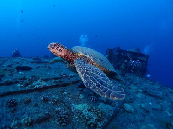Green Sea Turtle - Wreck Diving - Oahu, Hawaii