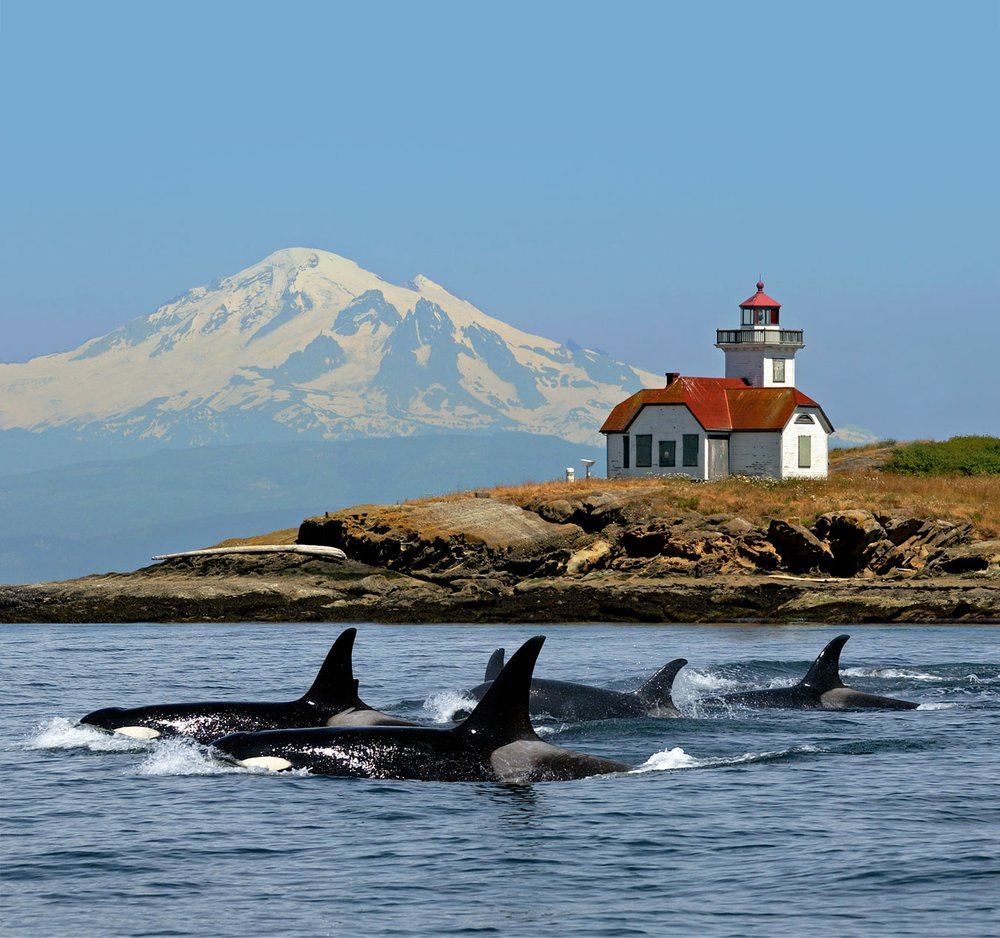 Whale Watching San Juan Islands Popular Tourist Attractions