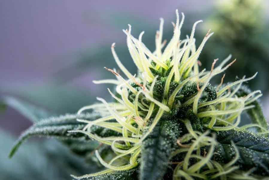 buy-cannabis-seeds-in-toledo