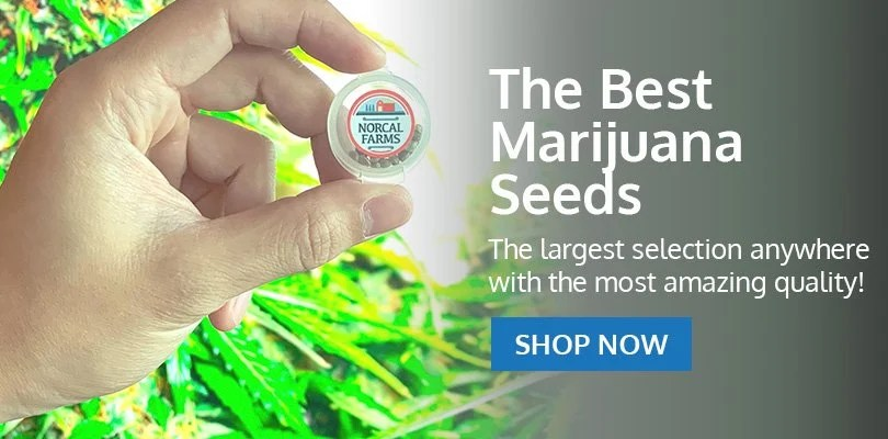 PSB-marijuana-seeds-shoreline-2