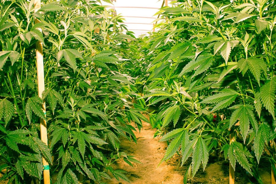 buy-cannabis-seeds-fontana