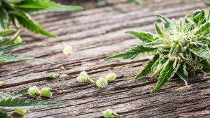germinate-marijuana-seeds