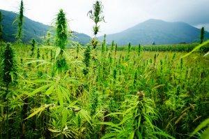 best-yield-for-marijuana-seeds