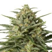 Buy-Erez-Autoflowering-Feminized-Marijuana-Seeds