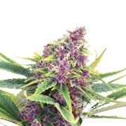Buy-Purple-Star-Autoflowering-Feminized-Marijuana-Seeds