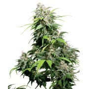 Buy-Alpine-Star-Feminized-Marijuana-Seeds