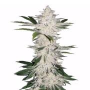 Buy-American-Kush-Autoflowering-Feminized-Marijuana-Seeds