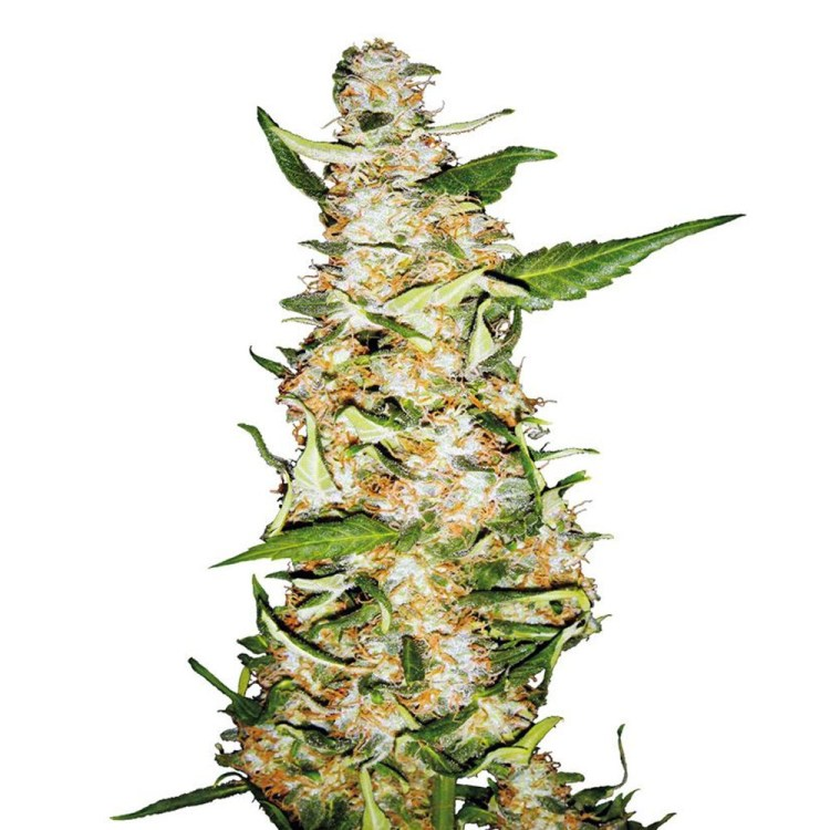Buy-Butter-OG-Feminized-Marijuana-Seeds