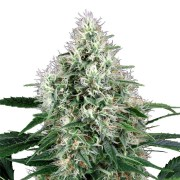 Buy-Extreme-Cream-Feminized-Marijuana-Seeds