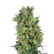 Buy-Sweet-Baby-Jane-Autoflowering-Feminized-Marijuana-Seeds