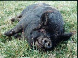 Guinea Hog 01