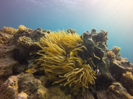 Red Sea Anemonefish