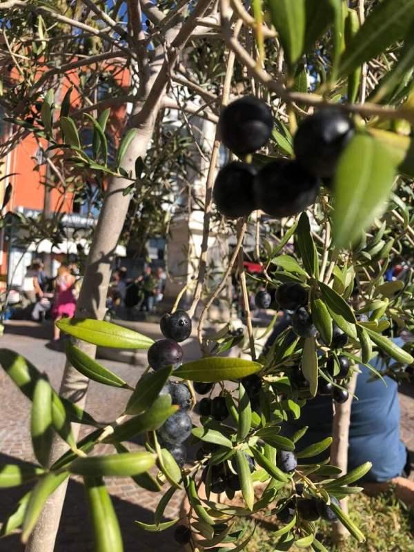 Olives Var France