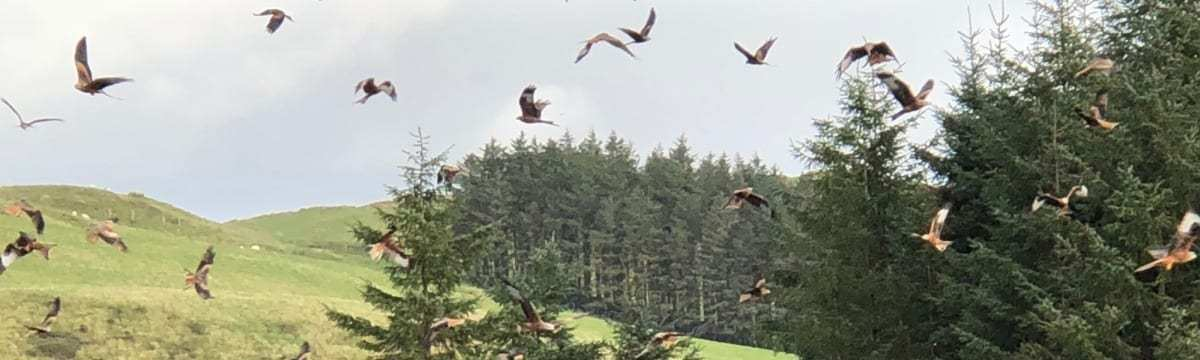 Red Kite Feeding at Bwlch Nant Yr Arian Nature Reserve, Wales