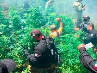 FGR incinera más de 700 plantas de marihuana en Hidalgo