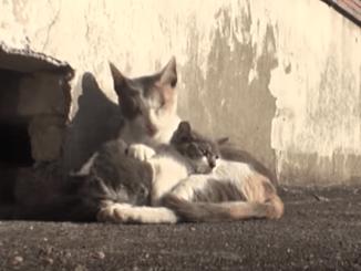 ¡Amor de madre! Gatita se niega a abandonar a su cría con las piernas rotas #VIDEO