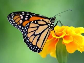Santuarios de la mariposa monarca podrían no abrirse al público este año