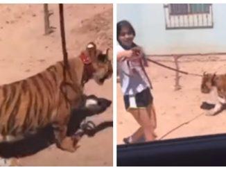 Niña pasea tigre de bengala, en calles de Sinaloa #VIDEO