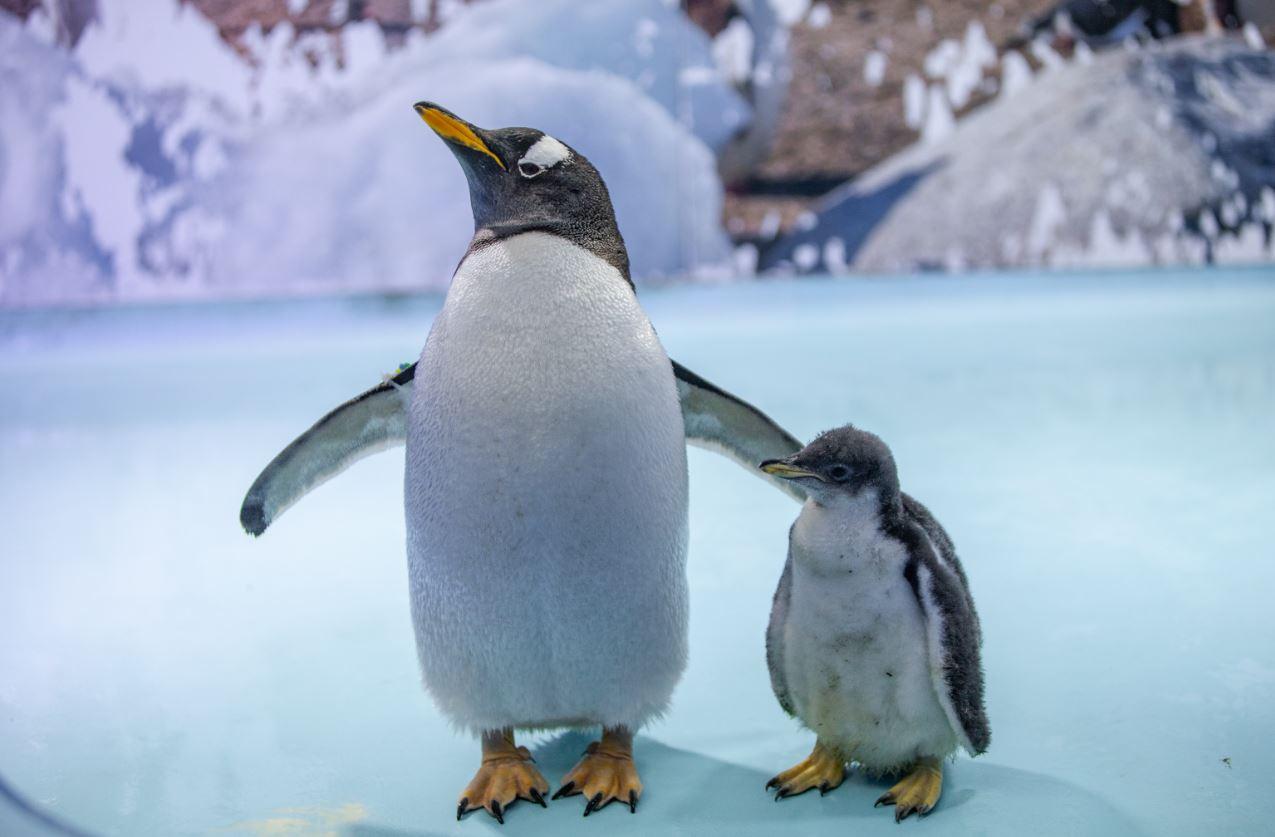 Te presentamos a Álex, el primer pingüino nacido en la CDMX