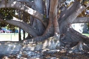 Massive tree girth