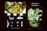 Embryo fossils