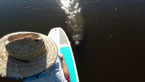 Guided SUP (Stand up paddle board) Tours with Manatee
