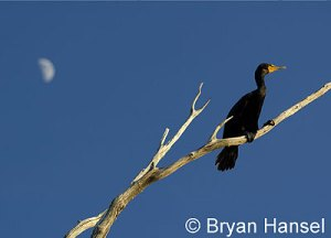Cormorant and the Moon