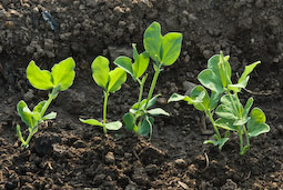 Young pea seedlings are irresistible to pigeons and need protecting with nets or wire mesh.