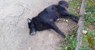Pietramelara – Cani randagi avvelenati nel borgo antico, nessuna pietà nemmeno per i cuccioli. Scatta la denuncia