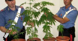 VENAFRO / MONTAQUILA – Piante di marijuana sul terrazzo, denunciato dai carabinieri