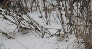 Matese –  Lo zigolo delle nevi sul Matese, avvistato e fotografato per la prima volta