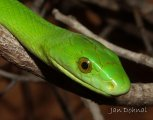 Eastern green mamba (Dendroaspis angusticeps)