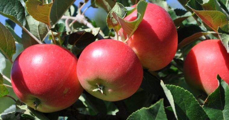 Äpplesäsongen är här!