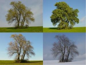 Poplars_in_four_seasons