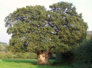 800px-Very_old_Oak_tree