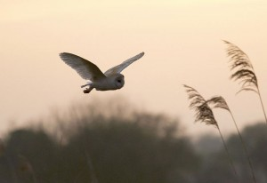 800px-Barn_Owl_South_Acre_2