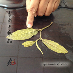1 bud 3 leafs ratio - sheng pu-erh tea